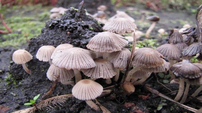 гриб навозник описание и фото