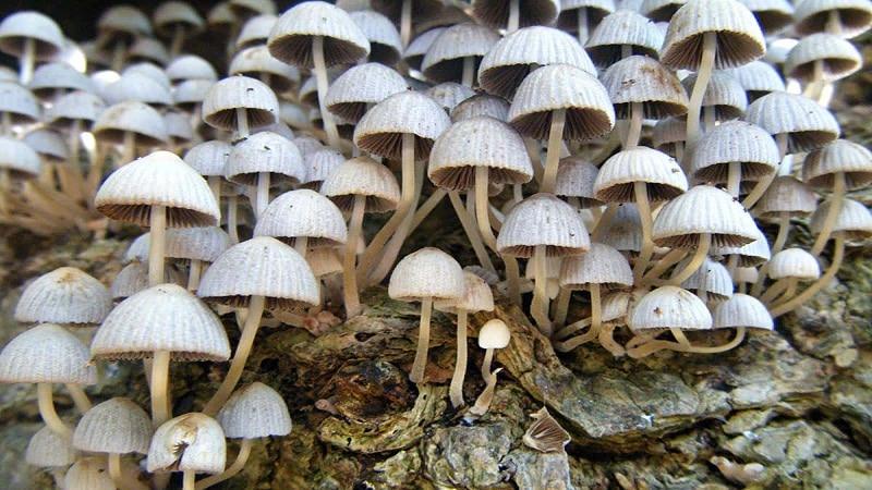 гриб навозник обыкновенный съедобный или нет