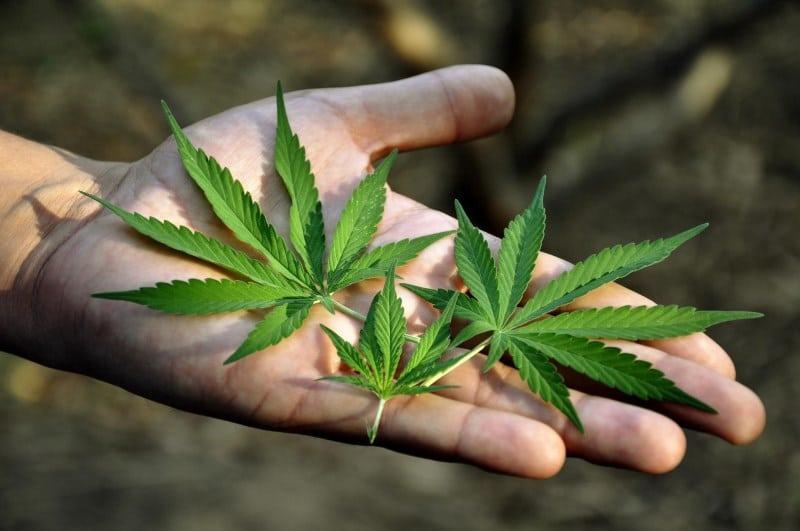 марихуана польза и вред