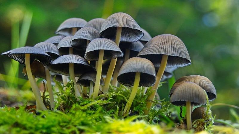 галлюциногенные грибы последствия фото
