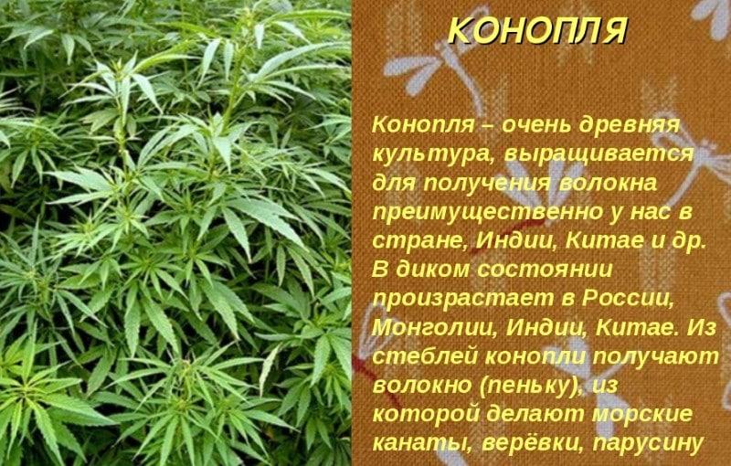 чем гашиш отличается от марихуаны