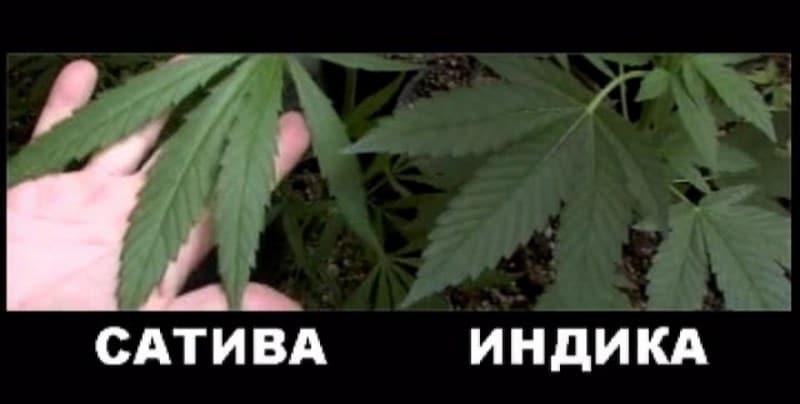 из чего делают марихуану