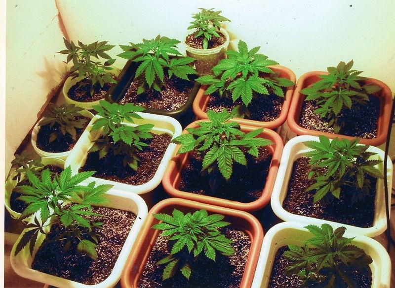 наркотические растения
